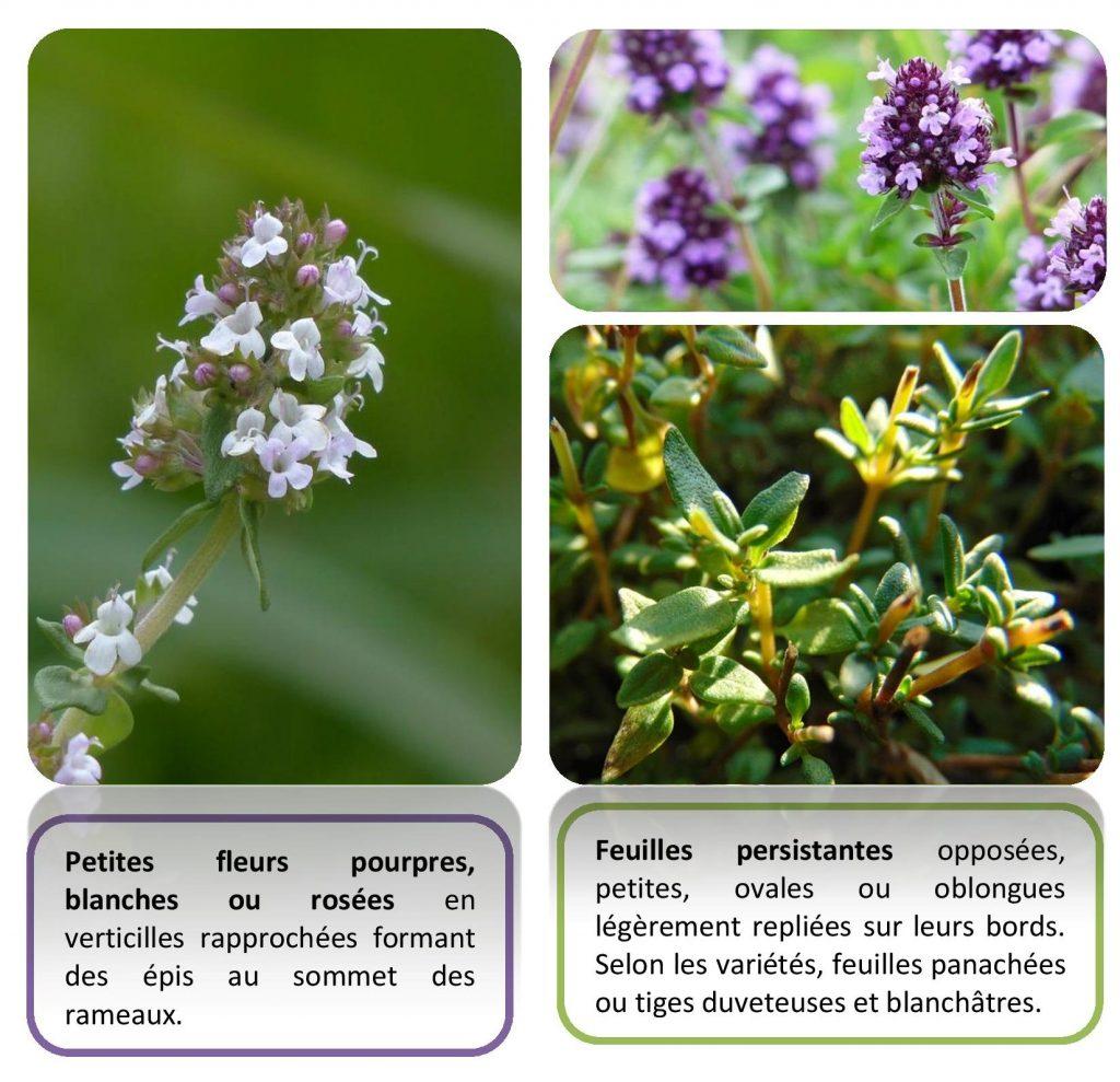 Description plante thym utile comestible recette DIY