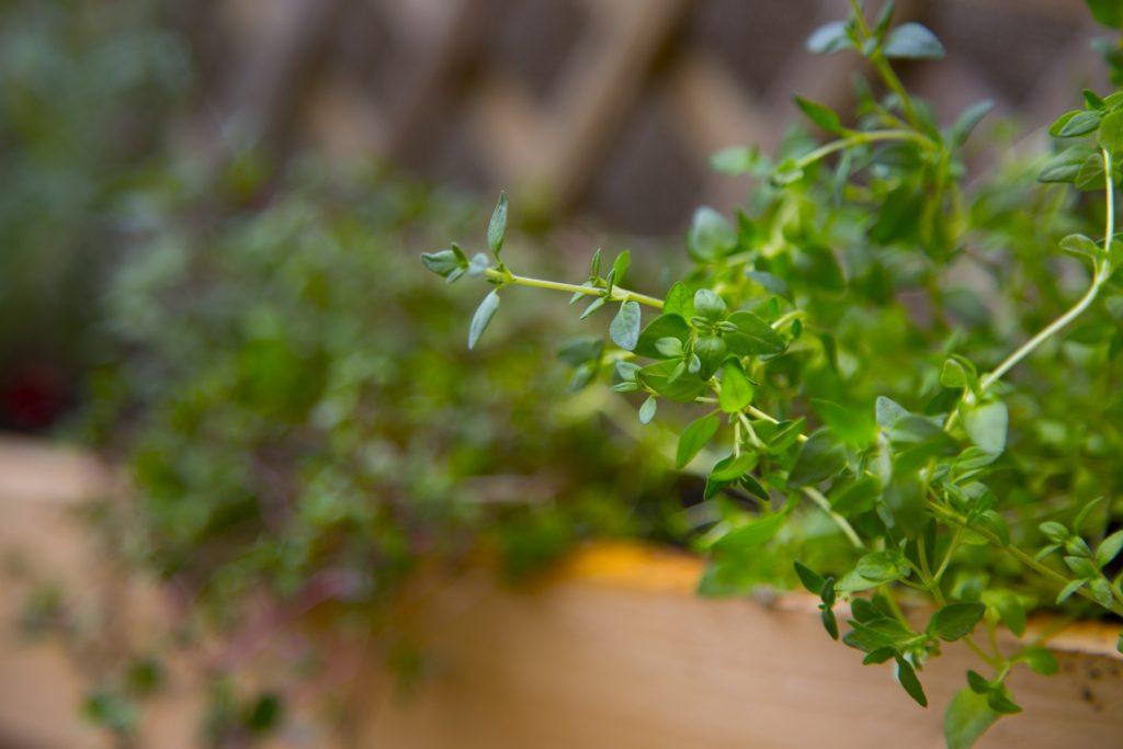 du sentier au potager, plante utile, recette, diy, thym, aromatique, alimentation, marinade