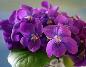 La violette odorante, Viola odorata