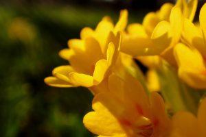 La primevère officinale, Primula veris L.