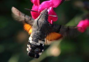 Le moro-sphinx, Macroglossum stellatarum