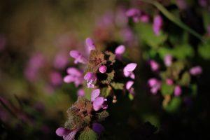 Le lamier pourpre, Lamia purpureum