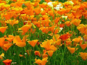 Pavot de Californie, Eschscholozia californica