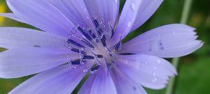 La Chicorée sauvage, Cichorium intybus